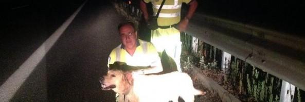 Labrador in difficoltà soccorso su A2 tra Reggio e Vibo