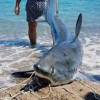 Squalo volpe da 200 kg pescato nel Crotonese