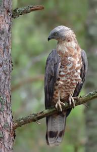 Falco-Pecchiaiolo1