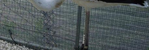 BOCALE: SALVATO GIOVANE ESEMPLARE DI FENICOTTERO
